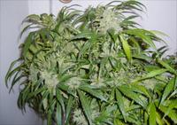 Arjan_shazeno1_-_greenhouseseedco2