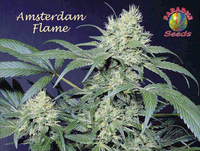 Amsterdamflame_-_paradiseseeds1
